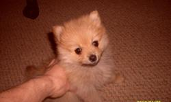 I'm selling a 7 week old female tan pomeranian for sale asking 1000.00 for her shes great with kids and other pets i have her almost fully house trained. if your interested in this puppy please call or message