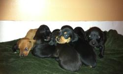 hi there my dauchund recently had pupies would make a awesome gift to your loved ones bouth mother and father are duachunds and are amazing with ppl and kids i have 8 pupies here that will be redy to be picked up on feb 10 im asking $350 obo