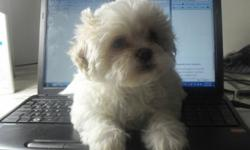 We have two 8-week-old Teddy Bear (ShihTzu-Bichon) puppies. They are dewormed, and have their birth certificates and shots.  They are also potty trained considering they are only 8 weeks old. Their prices range from $685-$700 depending on the puppy.