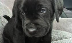 9 beautiful chocolate and black lab puppies, born Jan 20,2012 there is 1 black males, 3 black females, 4 chocolate males, 1 chocolate female. Mother is a purebred chocolate lab, weighs, 70lbs Father is a English black lab (stocky, heavy-boned, broad head