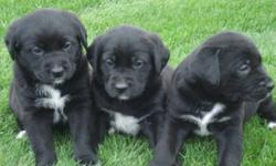 cute adorable lab X with bernise moutain dog puppies for sale !, ready to go at 8 weeks !