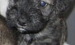 This adorable 9 week old Schnauzer Poodle mix is a little bundle of joy. He's had his first shots and is ready to be homed. Schnoodles are incredibly intelligent and loving, and are hypoallergenic meaning they won't shed! The perfect family Pet! Come see