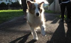 We have a beautiful, caring, smart female Sheltie puppy for sale.  We are moving and cannot take a puppy with us to the new home. She is very well behaved, CKC reg, up to date with vet check/shots/worming, and is great with all people including children.