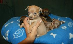 Ready for there new home; Purebred Chihuahua puppies, raised with lots of love, parents on side, well socialized with small children and other animals,  mother and father weight 5 lbs, comes with one set vaccine, dewormed three times and written health