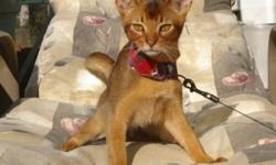 My name is Notcho because I have a notch in my ear.  I am 11 months old and was supposed to be a showcat until I put a notch in my ear.  I am very affectionate and easy going.  I like going out on the porch with my leash and harness but I need an indoor