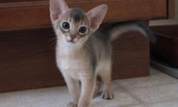 Blue Abyssinian kittens available for sale to suitable home.  Healthy and active these little kittens are very sweet and affectionate.