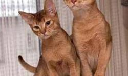 I have 2 adorable abyssinian kittens. Looking for a good home. Call 604-771-3133 or email at tais172000@yahoo.com if interested. They are very active and affectionate. Loves to play with water. You can also teach them tricks.