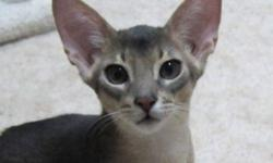 Two Abyssinian kittens available, very healthy affectionate.  One is blue and the other is fawn.