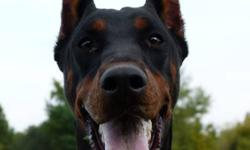 Pregnancy confirmed!  We are now accepting a limited number of reservations for Doberman Pinscher puppies.  Both parents can be viewed and they have wonderful temperaments and are excellent family and guard dogs.  We compete and train our dogs in