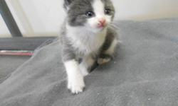 Fred and his siblings are teeny, tiny babies that are cute and cuddly! They are sure to make wonderful pets! They are still too tiny to go to a forever home, but they can be pre-adopted and will be ready to join their new families in mid-November!   Adopt
