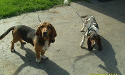 I have 2 adorable Basset Hound puppies for sale to good loving homes. they are $500.00 each. That includes: shots, vet check, deworming & health record. They are ready to go Now !!! They are 12 weeks as of Dec 29. For more info or pictures please call: