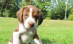 Beagle/ Walker Puppies for sale ONLY 4 PUPPIES LEFT 2 Females2 Males  Perfect Family Dogs very Loyal Parents are both Hunting dogs they run both Deer and Moose Mother is on site- this is Casey's last littler don't miss out Please contact Perc at (705)
