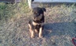 Friendly and cute Bernese mountain dog X rottweiler puppies for sale by owner. 3 females. Tails are docked,dew claws removed, and they have been de-wormed. I have the mother.which is a pure bred rottweiler. She is extremely friendly and has a great
