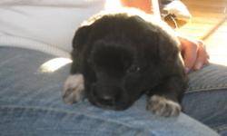 Five Adorable Border Collie/ Black Lab Cross puppies. Four males, One female; Born Nov 14, Ready to go Jan 11. Asking $250.00. Have shots. Pictures were taken at 4 1/2 weeks. Please Call Laura @ 250-269-7204