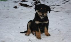 A herd of healthy farm-raised puppies from a lovely bordie collie/lab mix mama (sire unknown). They all look very similar: black bodies with brown points, and some have a little white on chest/feet. Their mom is very good with kids and babies, has never