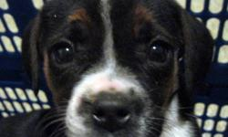 LOOKING FOR A SMALLER DOG? WE HAVE BOSTON/BEAGLE PUPPIES!  6 FEMALES. THEY ARE VET CHECKED, HAVE THEIR FIRST SHOTS, REVOLUTION AND DEWORMED. GREW UP WITH LITTLE CHILDREN EN OTHER DOGS. DAD IS A BOSTON TERRIER MOM IS A BEAGLE THE PUPPIES WERE BORN ON