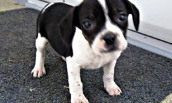 Looking for a sweet, medium family dog? We have Boston Terrier x Beagle female puppies They are born September 30 and ready to go now. They comes with vet paper, first shots, deworning and revolution. We expect them to be 18-20 lbs full-grown and 14-16