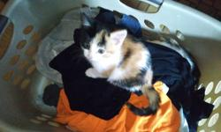 Two Adorable Calico Kittens To Give Away. Ready For September 15th.