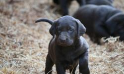 Family raised on small hobby farm in Abbotsford these adorable Chocolate Labrador Puppies are going fast. Only 4 Females and 2 males left. The Mom is registered with AKC and comes out of California. The Stud is CKC and is our own dog. Puppies are
