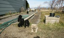 We have FIVE adorable, Cute, Playful, Cocker Spaniel Puppies for Sale.    FOUR, Black and One Blonde.    Tails Docked, Declawed, First Shots.    Respond to this ad or call 306-752-4092 for more information