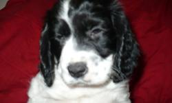 The most affectionate loving dog breed you could ever have. Great family dogs, great with children, excellent hunters, very smart-easily trained. They love to play and swim. Springers associate very well with other dogs. They love to love and be loved.