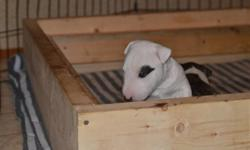 Beautiful CKC (Canadian Kennel Club) registered mini bull terrier female puppy (last from the litter of two), with fantastic pedigree, home bred in busy household with kids and other dogs and a cat.  She will be are ready to go in 4 weeks to her new home