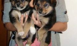 Adorable German Shepherd cross puppies for sale! Ready to go December 23. Playful, energetic and cute! Only to good homes.