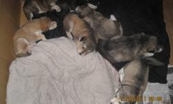 PRICE REDUCED! Adorable husky x puppies! 2 puppies left of a 7 puppy litter, 1 girl 1 boy. the girl has blue eyes and the boy has brown. very playful and wonderful natured, great with kids (my two young kids ages 6 and almost 3 play with them on a daily