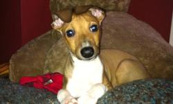 Italian Greyhound Male 9 weeks old 1st shots and vet check by registered vet   Approx 13-15 inches at the withers when full grown   10-15lb full grown   Already started on house breaking and crate training.   Low to no shedding No doggy smells     comes