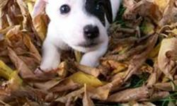 Jack Russell Pups for Sale. Tails have been docked and Dew-claws removed. Short-hair and short-legged. Mother and Father both on-site. Serious inquiries only. Phone 519-915-1497. The ad will be removed when all of the puppies have found a home.