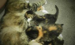 Beautiful kittens 4 females 1 male BEAUTIFUL COLORS, MARKINGS in desperate need of homes ASAP...