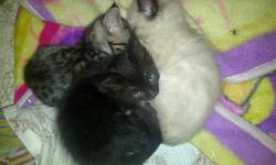 There are 3 kittens: two male and one female. Contact us for information