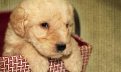 We are proud to introduce a new litter of adorable LABRADOODLES.  We have four handsome fellows and two sweet girls (red baskets).    They will come to you vet checked, with their first shots, and dewormed.  We also give a one year genetic (eyes, heart,
