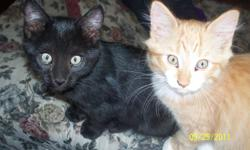 MALE KITTENS TO GO TO GOOD HOMES! They are both litter trained, curious and very affectionate.They are good with dogs (we have 2 large ones that they play with). 1 black with a few cute little white hairs on his ears, and 1 long haired orange tabby with a