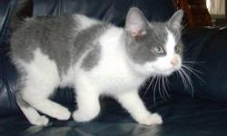We are selling four grey and white housed trained kittens that are very lovable.  They are friendly with people and  very playful.  One is a completely grey striped kitten and on the face. Another has large spots of grey and grey face.  A third one is all
