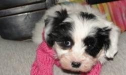 QUALITY HOME RAISED MALSHI BABY    TINY TOY Shih-Tzu (Shihtzu) - Maltese approximately 6 lbs full grown   THIS LITTLE GIRL IS PLAYFUL AND LOVES TO BE CUDDLED   1st Shots, De-Worming Done   Born October 23rd, 2011   1 Female WHITE WITH BLACK EYES (like