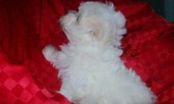 Maltese Puppies available! ??? Beautiful low to non-shedding, hypoallergenic puppies available to go home with their forever families next week. ??? They have already had their first vaccinations and vet check! ??? Three little boys are waiting to meet