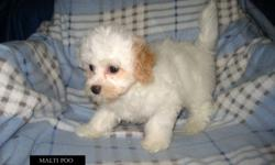 Come and meet our lovely Maltese mix puppies. These babies love to be around people, love to be loved. They are playful, gentle, easy going and are non shedding and hypoallergenic.   We have 2 Maltese / Shih Tzu cross puppies and one sweet Maltipoo girl