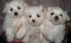 Maltese are a small, happy little bundle of joy. Maltese are bred as a companion dog and love to be around people. They are good with children and infants, are lively and playful. They love other dogs and cats and are non-shedding and hypoallergenic. They