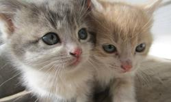 These cute and playfull Manx X kittens will make the perfect family pet!  They are healthy and have been raised in a friendly family atmosphere and do well with both children and adults.  They have very distinctive coloring markings, and some have tails