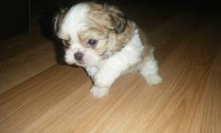 We have 3 little precious puppies that will be ready for adoption on Jan 18th 2012. Remember these little guys go very quickly. They come with a microchip and all shots up to date. We have 2 girls and 1 boy. The Miki is a small, friendly, and alert toy