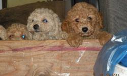 Miniature Poodle Pups, born Aug 2nd, 1st shots, dewormed, family raised.  Have both parents. 604-856-8267