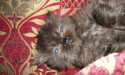 fellow with a lovable personality will have stunning copper eyes, flat face will be the most loving companion he is 8wks olds ready to go to a new home he has 1st shots dewormed and flea treated with advantage fully vet approved. all for only $450.00
