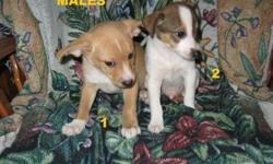 """We have a beautiful litter of 4 males and 2 female """"Jack-A-Ranian"""" puppies. Dad is Pomeranian and Mother is Jack Russell. These puppies are intelligent, energetic, eager to learn and easy to train. They also love to cuddle and be held and are very loyal,"""