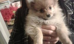 I have two of the cutest Male Pomeranian Puppies for sale that need a good home! I recently got them but they do not get along well with my two cats! These two adorable puppies are brothers and 10 weeks old! The caramel one is Coco and the black one is