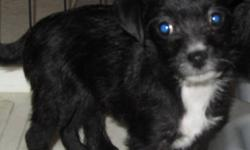 One only left, sweet little black and white puppy. She's potty trained, loves to play with my grandchildren, and loves to cuddle, and she's ready to go, and will make an excellent addition to someone's family.