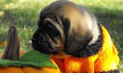 If you want a puggle with lots of wrinkles...we've got them!  1st generation male and female puggles available from purebred parents. Puppies are family raised and will be dewormed twice and have age appropriate vaccinations before leaving for their new