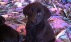 9 adorable Lab Puppies for sale to good homes. Just in time for Xmas. 4 black males(2 SOLD) 2 black females ( 1 SOLD) 2 chocolate females (BOTH SOLD) 1 chocolate male (SOLD) Contact 519-990-7617 This ad was posted with the Kijiji Classifieds app. This ad