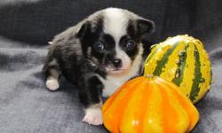 Hi there, I am a Pomchi Breeder in Chilliwack. We just had our first litter of puppies! 2 boys and 2 girls, These little babies are a must see!   We also have a video!   http://www.youtube.com/watch?v=Zz8x-ZjEnQA&feature=youtube_gdata Our user name is