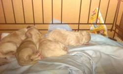 I have 4 puppies ready to go at 8 weeks on the15th of December. Mother Shorkie and father mini Poodle. Both parents are owned by us and are very cuddle lapdogs.  There are 2 girls and 2 boys.  All are still nursing so viewing will not be for another 2